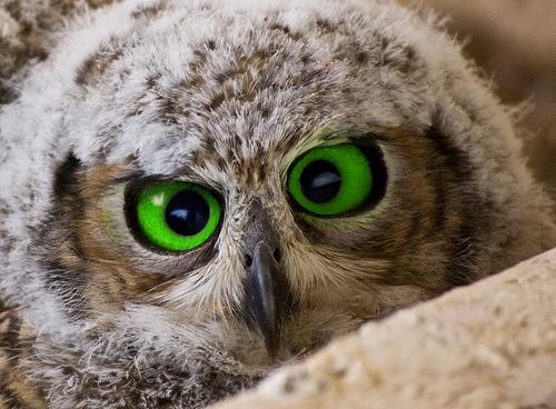 duolingo owl language learning app review
